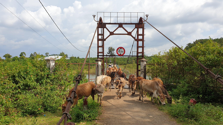 Cows crossing a wooden suspension bridge
