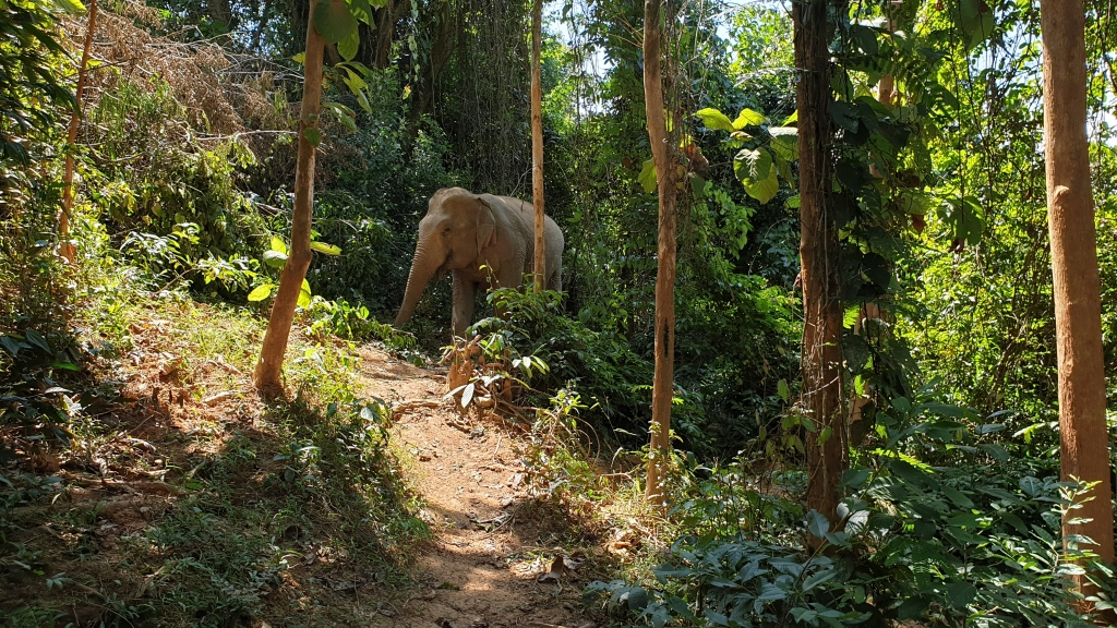 An Asian elephant walking through a tropical forest